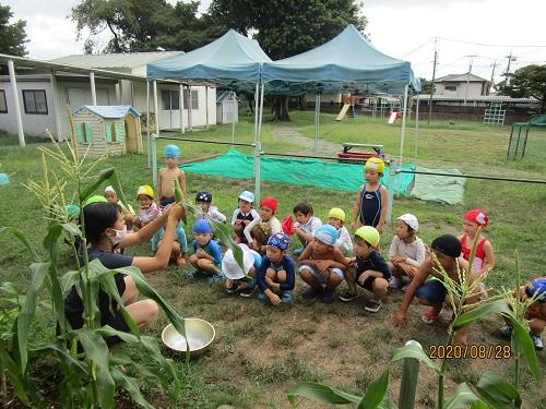 トウモロコシ収穫(8月28日)