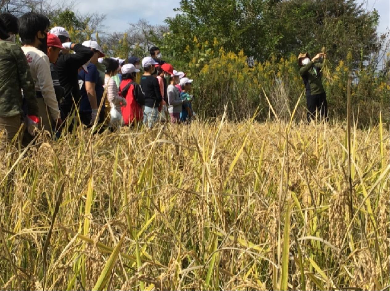 収穫の秋、5年生の稲刈り!